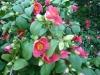 Japonské kamélie v zámeckém parku