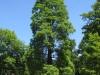 Tisovec dvouřadý v zámeckém parku